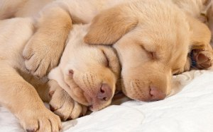 Best-Sleeping-Dog-Wallpaper-HD-0007